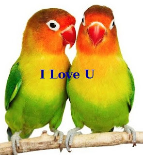 ciri lovebird betina