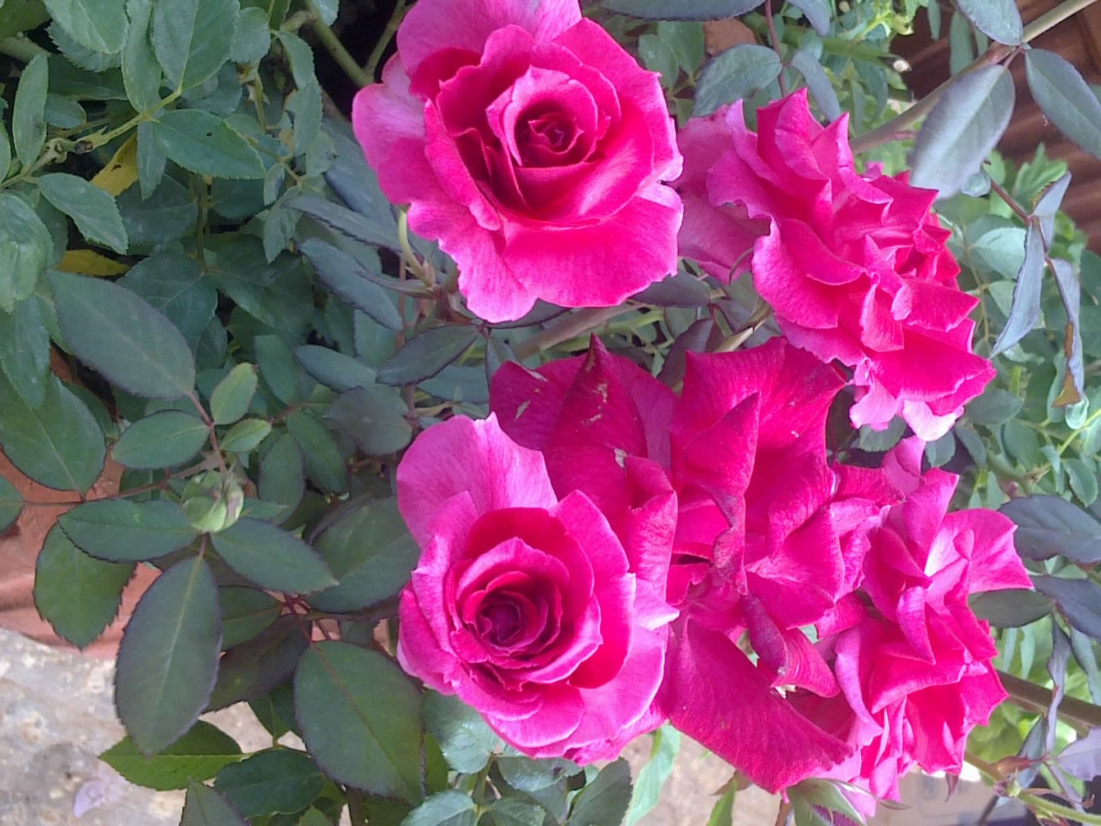 Roses In Garden: Plants Growing In My Potted Garden.: Growing And Caring