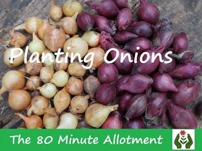 Planting Onions The 80 Minute Allotment Green Fingered Blog