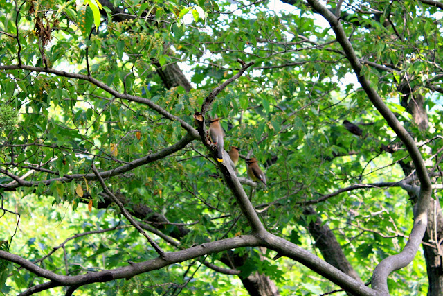Cedar Waxwings at Starved Rock