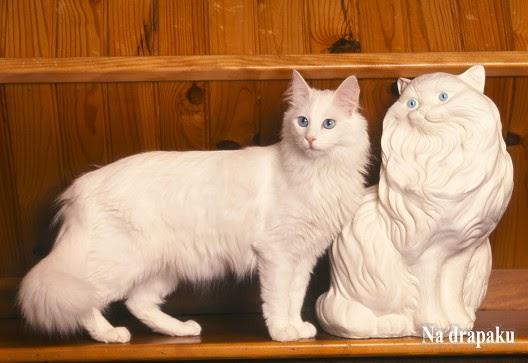 Białe koty i głuchota