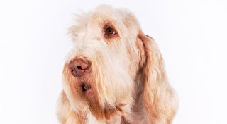 Everything about your Spinone Italiano