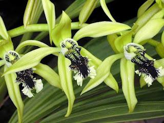 Gambar Bunga Anggrek Hitam (Black Orchid Flowers) 11000