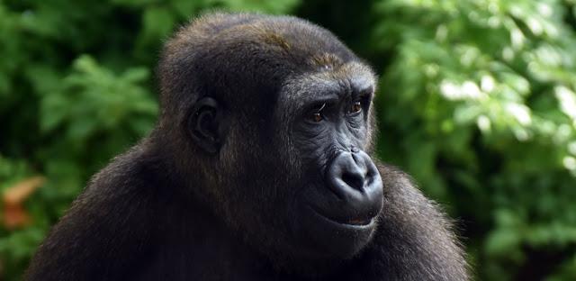 Gorila y extincion de especies