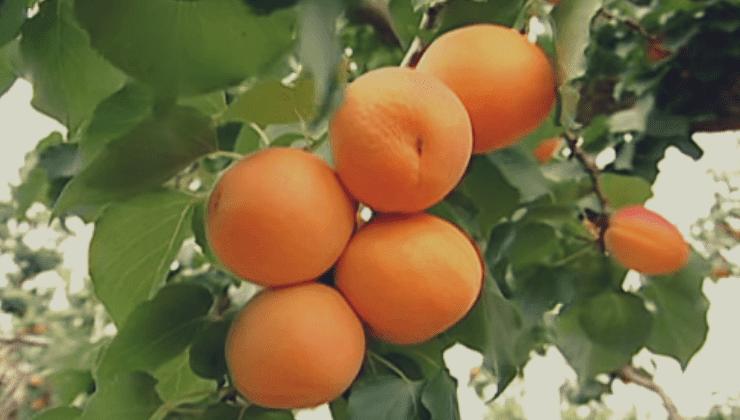 Prunus-armeniaca