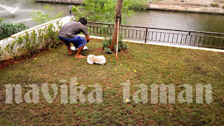 Jasa Pasang Rumput Swiss - Jual Rumput Swiss Murah - Jasa Tukang Taman