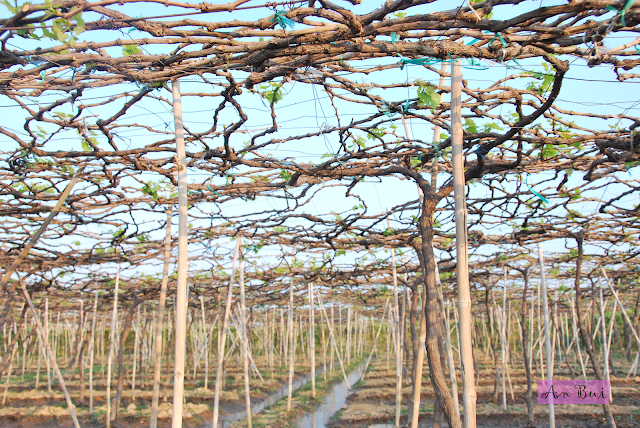Visiting Ba Moi grape garden