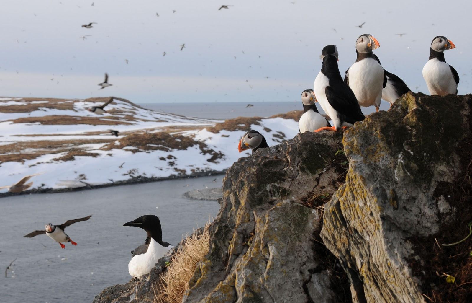 птахи арктики фото резонный, нам самим