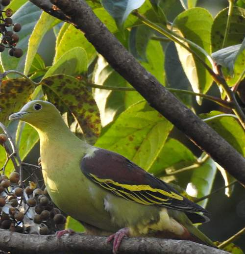 Indian birds - Picture of Ashy-headed green pigeon - Treron phayrei