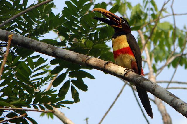 Araçari-castanho - Pteroglossus castanotis - Amazonia