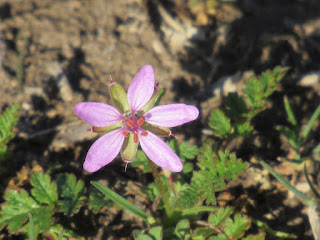 shasta county wildflower identification purple filaree
