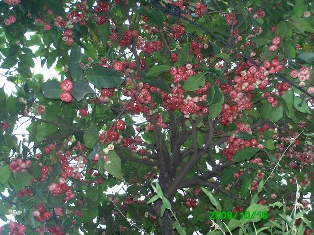 Pohon Jambu Air Berdasarkan Fungsi Goeboek Kata Doenia Maya