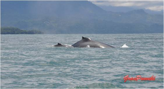 La excursión para el avistamiento de ballenas y delfines, tambiéen te lleva a ver cuevas en playa ventanas, la Isla ballena y su abundancia de aves y hacer snorquel cerca de esta isla. Léelo en Blog de viajes por Costa rica en famila