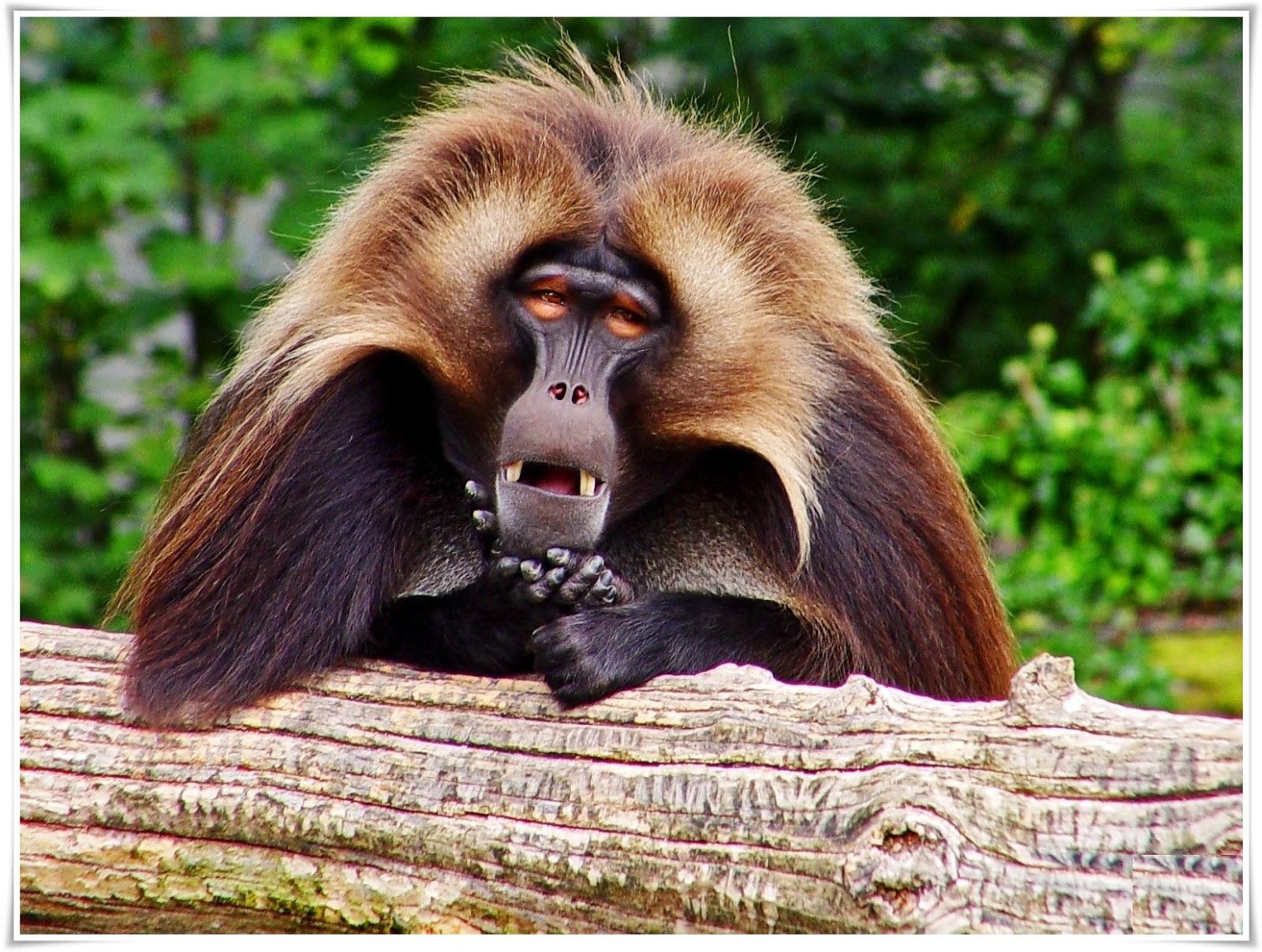 funny monkey wallpaper