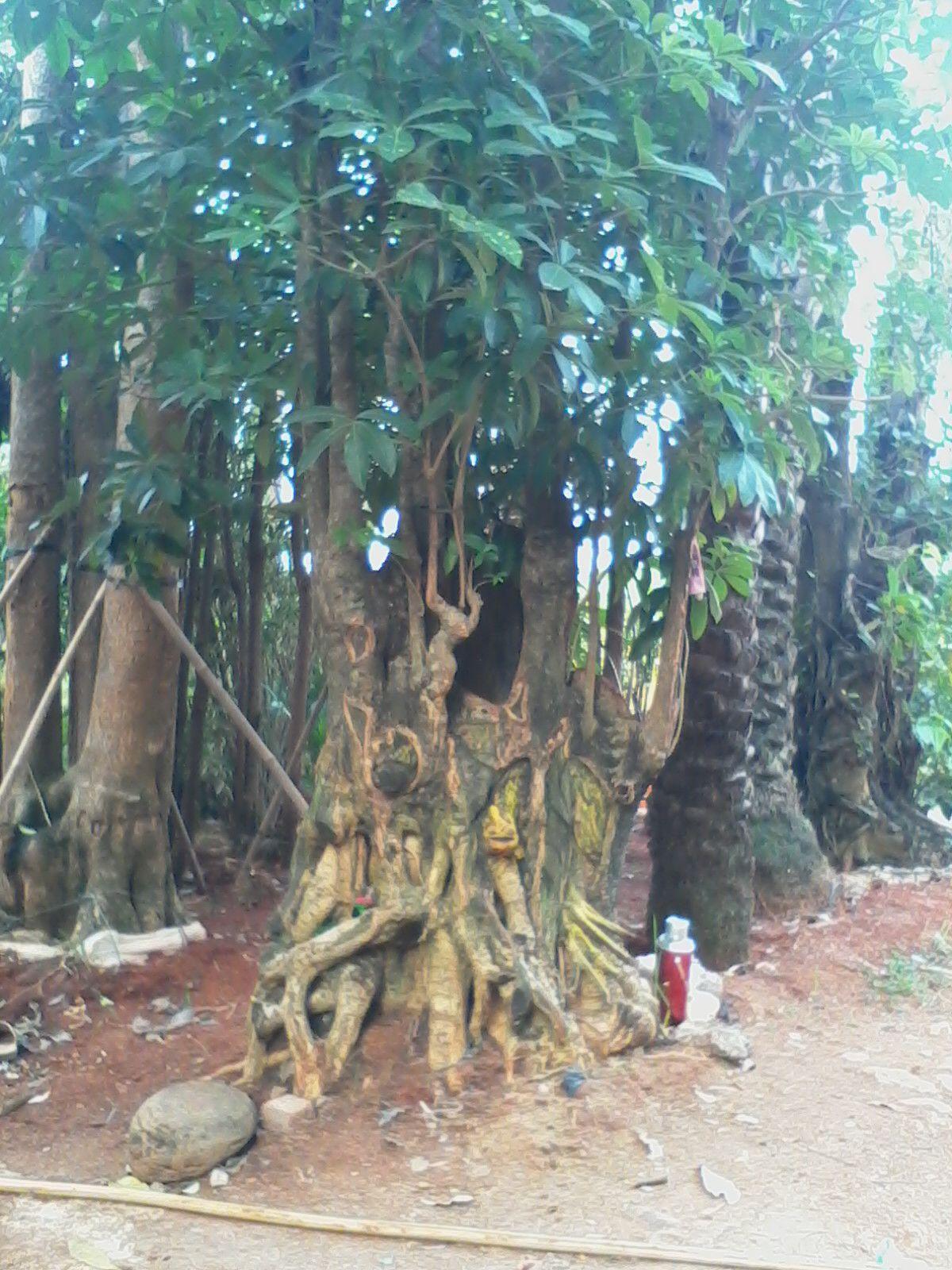 tukang taman murah jual pohon pule