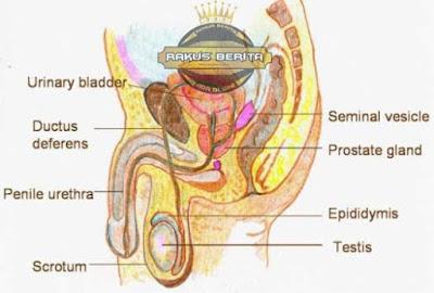 Sperma Akan Lama Berkembang Jika Testis Terkena Air Panas