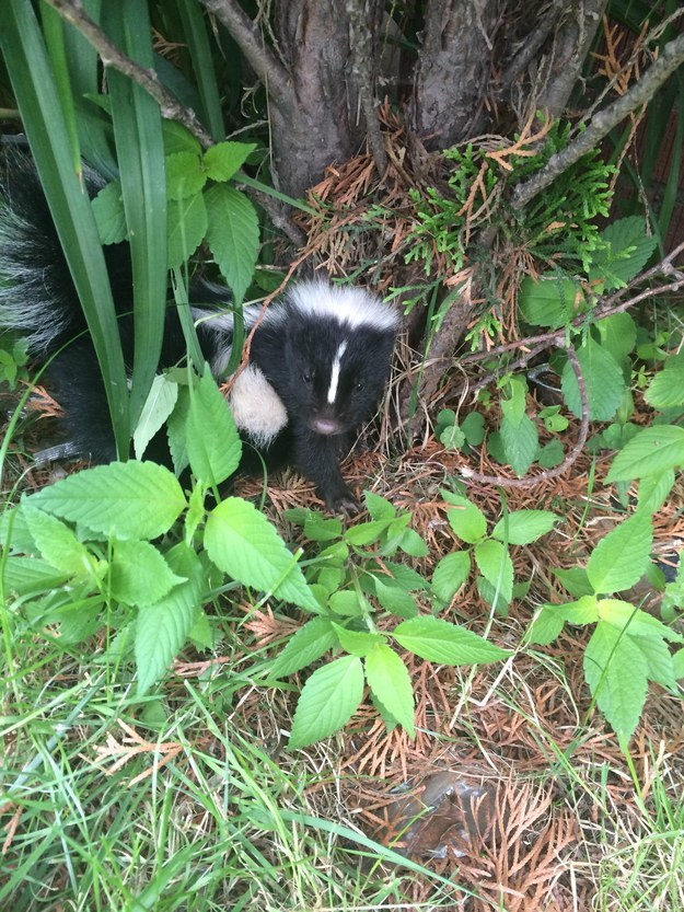 Baby Animals: Baby skunk 1