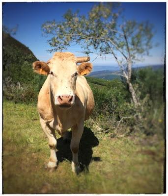 vaca-rubia