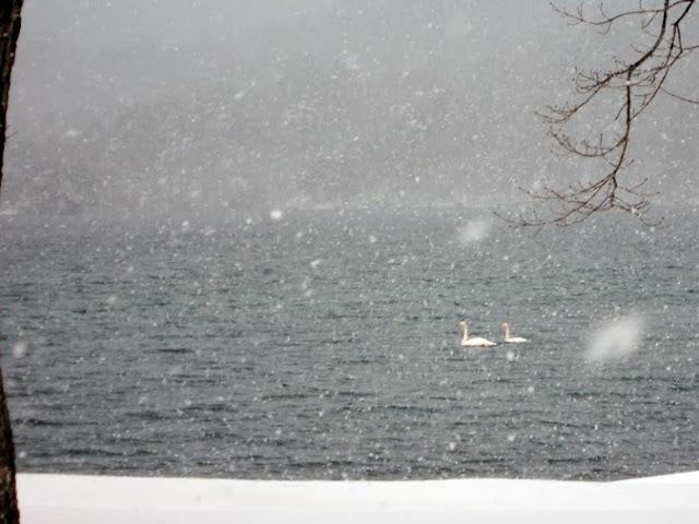十和田湖の白鳥
