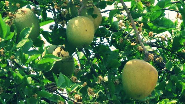 Bilva Fruit in Hindi Mythical