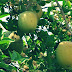 Bilva Fruit in Hindi Mythical Sacrifice To Get Rich