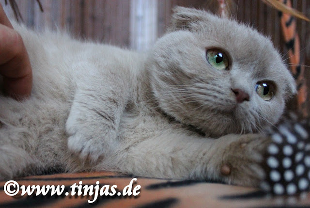 Schottische Faltohrkatze in fawn ( Züchter : Tinjas )