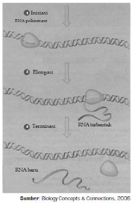 Mekanisme Serta Tahapan-Tahapan Transkripsi dan Translasi Dalam Proses Sintesis Protein