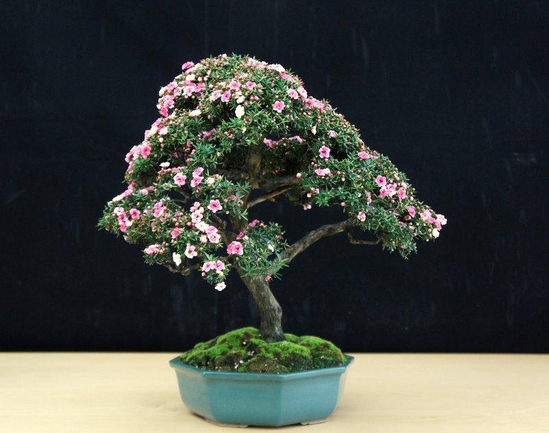 Paradis Express New Zealand Tea Tree Bonsai