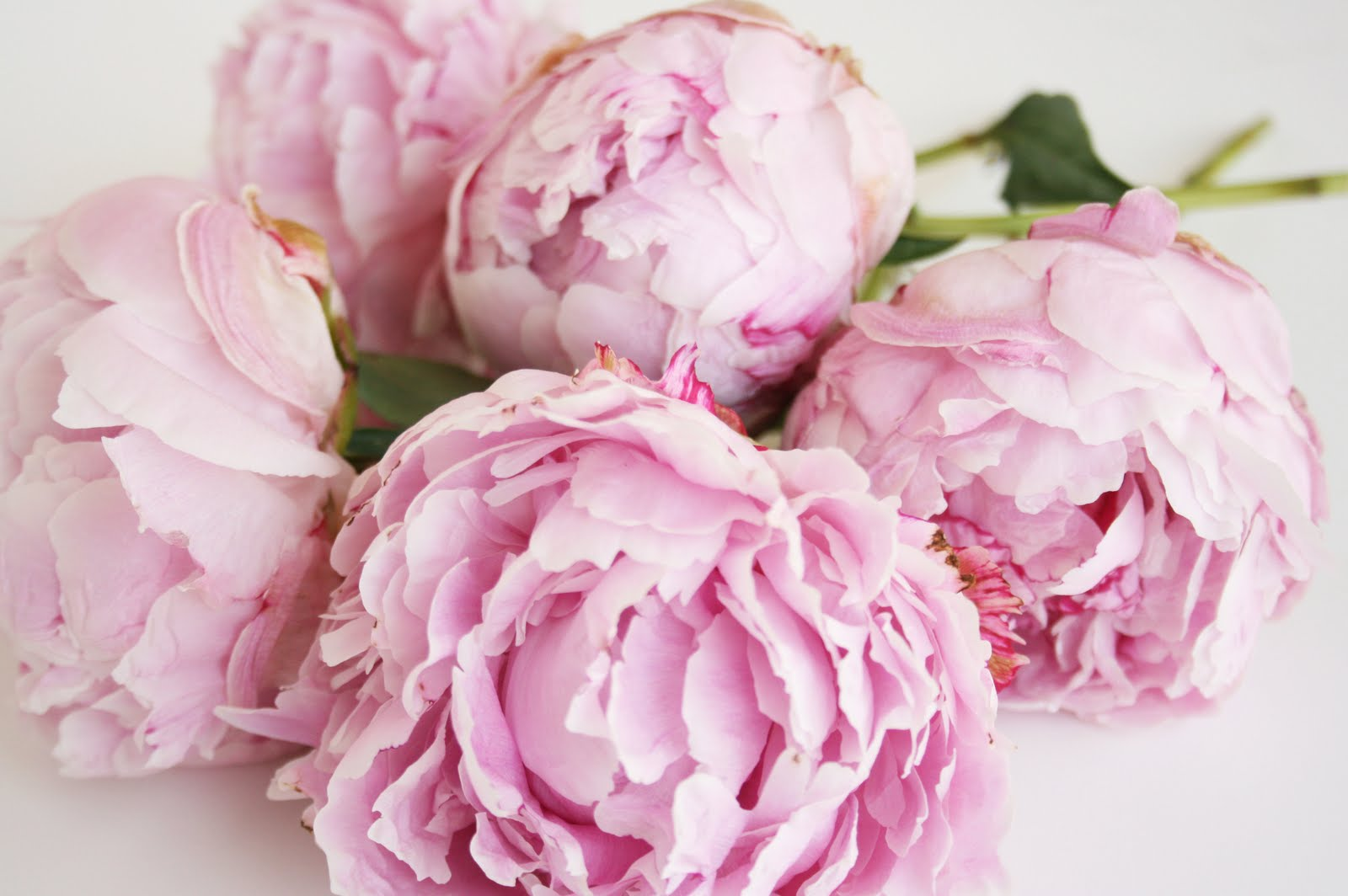paeonia wallpaper | adsleaf