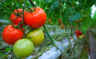 manfaat tomat untuk wajah berjerawat dan berminyak, menghilangkan jerawat dengan tomat berapa lama, apakah tomat bisa menghilangkan jerawat dan bekasnya, manfaat masker tomat setiap hari, manfaat masker tomat di malam hari, manfaat tomat untuk jerawat dan bekas jerawat, efek samping masker tomat, cara menghilangkan jerawat dengan tomat untuk pria