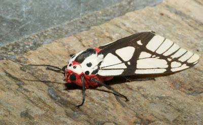 Footman Moth (Areas galactina)
