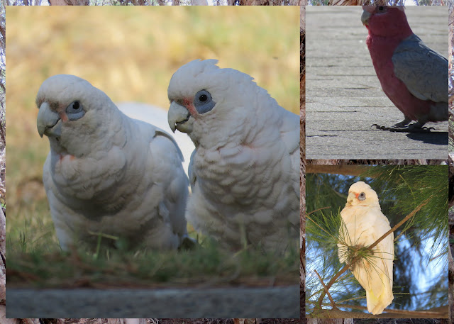 Western Corellas and Galahs spotted on a road trip between Margaret River and Perth in Western Australia