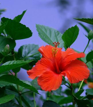 bunga sepatu bunga raya AstianaGT