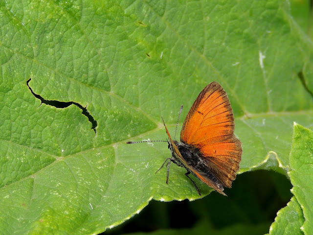 Lycaena hippothoe, anverso