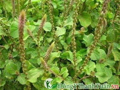 chữa đau lưng bằng thuốc nam từ cỏ xước