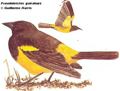 Pecho amarillo grande Pseudoleistes guirahuro