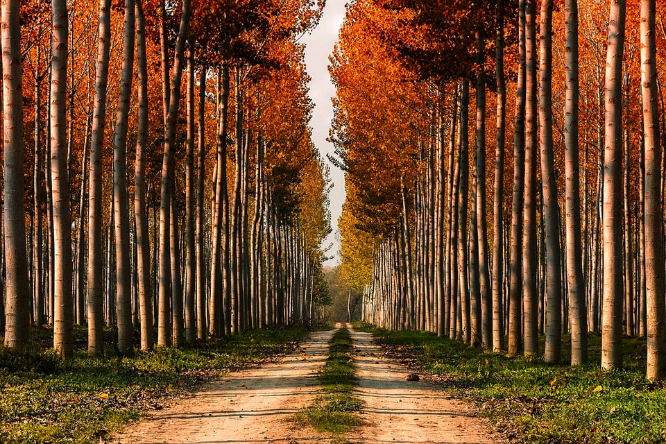 Alamos en otoño arboles camino otoñal