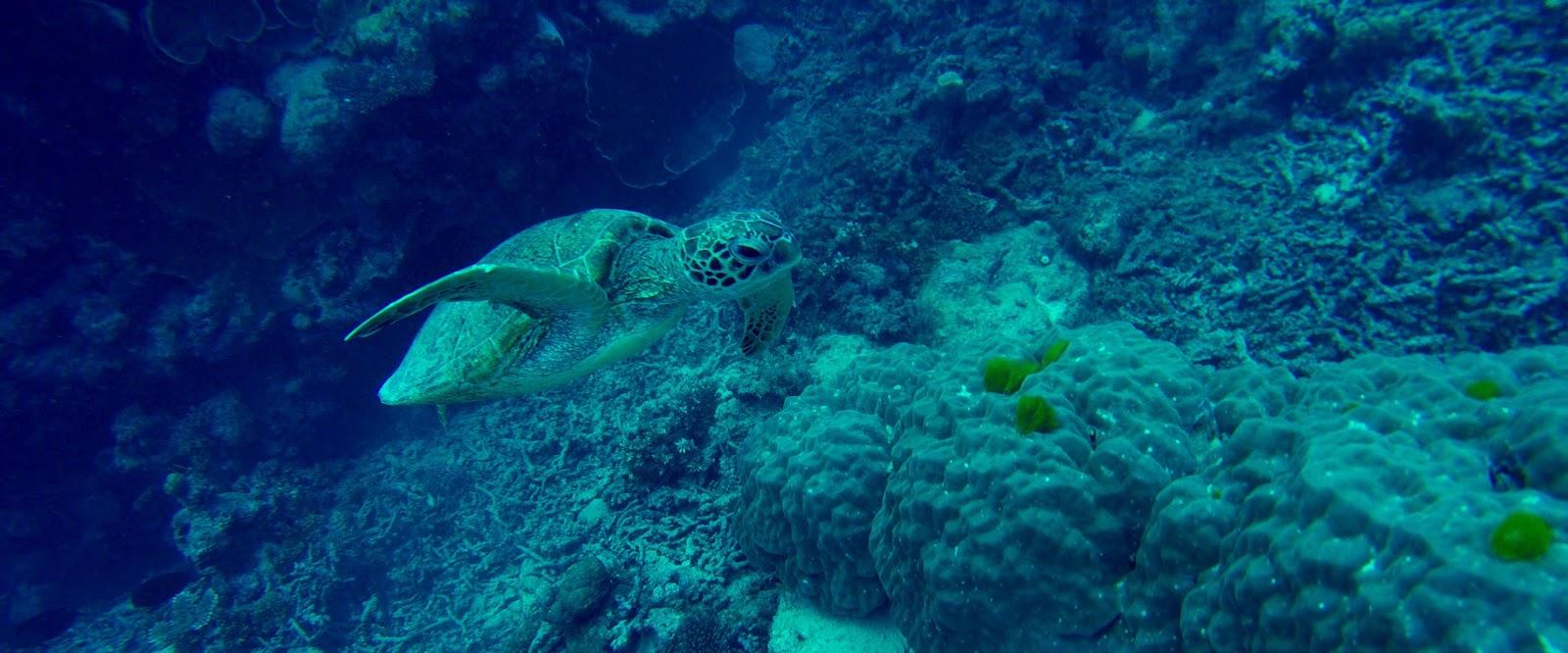 乌龟,大堡礁
