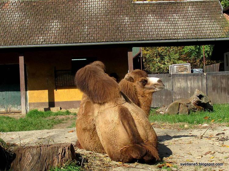 kamela