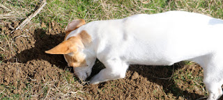 Thelma digging up a mole hill