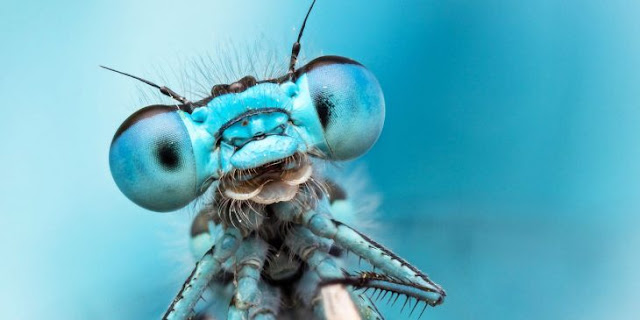 libélulas se hacen las muertas para rechazar a los machos