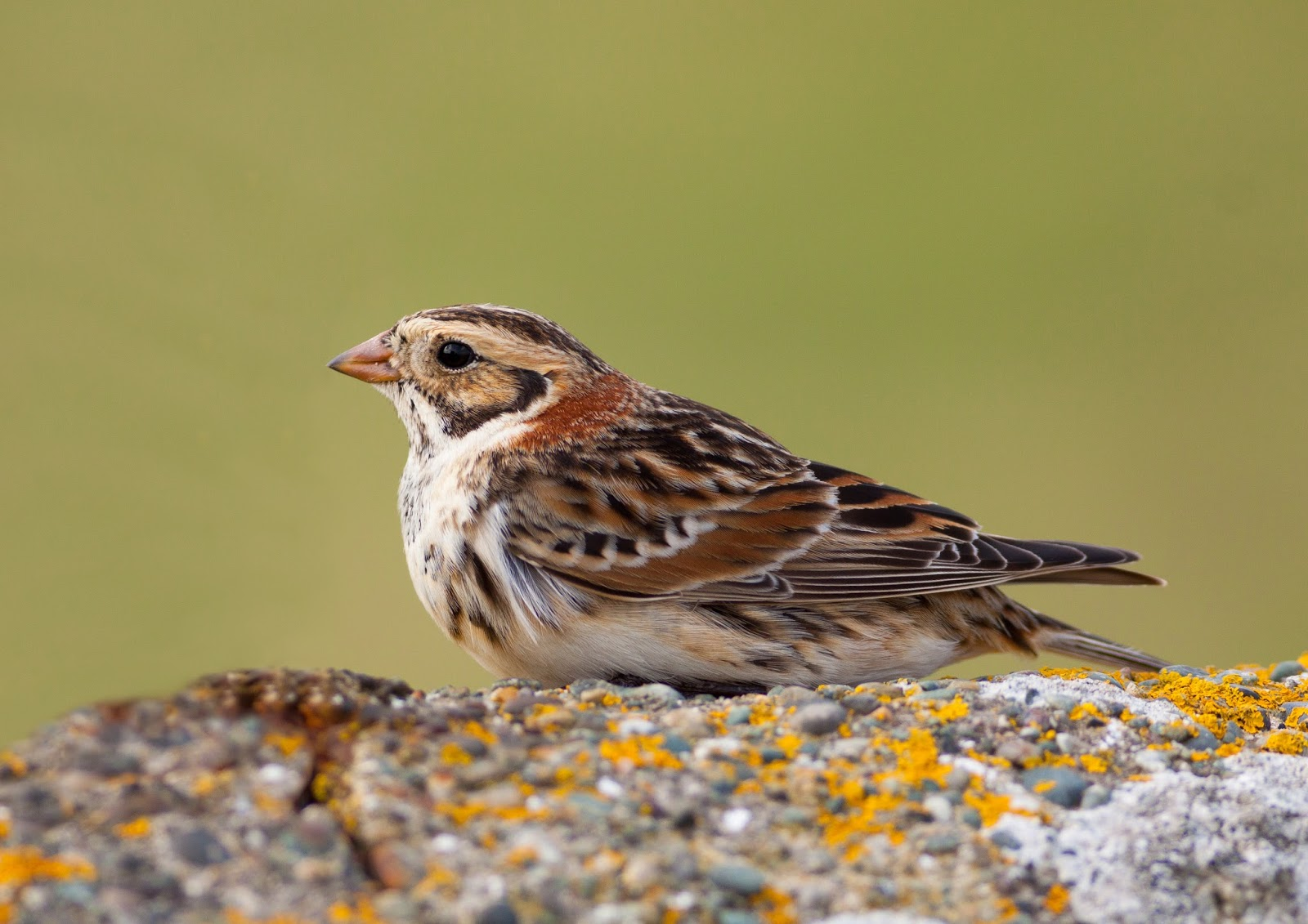 Lapland Bunting - Cemlyn Bay, Anglesey