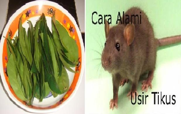Cara Mudah Mengusir Tikus