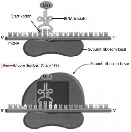Tahap inisiasi pada translasi sintesis protein
