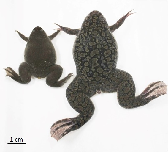 African clawed frog genome contains 2 full sets of chromosomes from 2 extinct ancestors