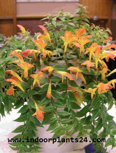 Nematanthus GOLDFISH PLANT