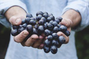 Como plantar uva em vaso - Uva nas mãos