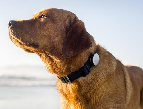cb7ec781b305 Whistle Dog Collar - Perfect Companion for my Golden Retriever!!! Updated  with video!!!