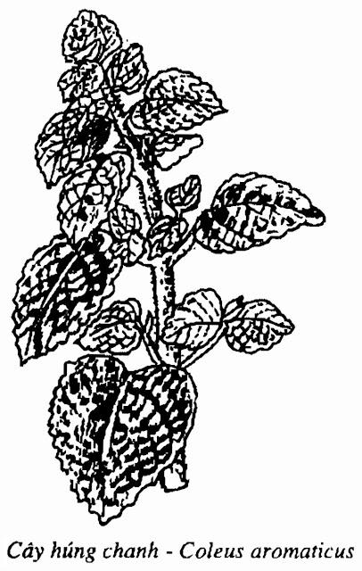 Hình vẽ cây HÚNG CHANH - Coleus aromaticus Benth - Nguyên liệu làm thuốc Chữa Ho Hen