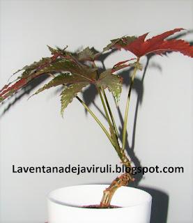 cuidados-begonia-gryphon